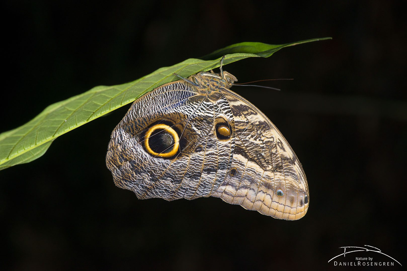 An Owl moth in the Yaguas. © Daniel Rosengren