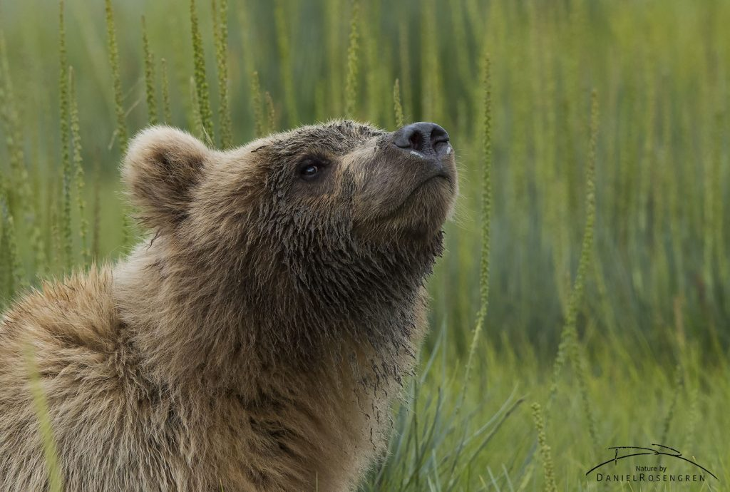 A Grizzly bear enjoying summer.