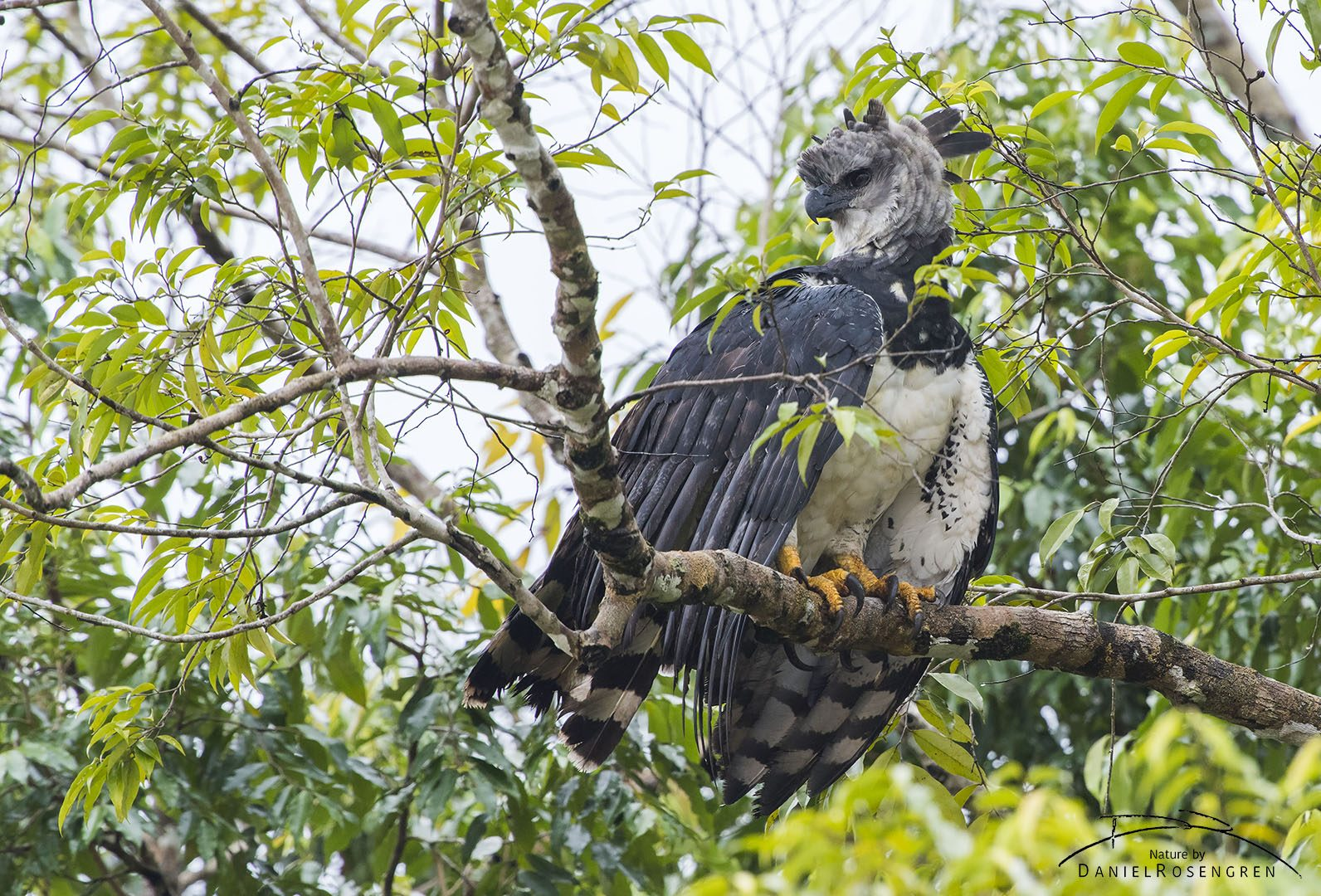A Harpy Eagle seen along the River near Yaguas. © Daniel Rosengren