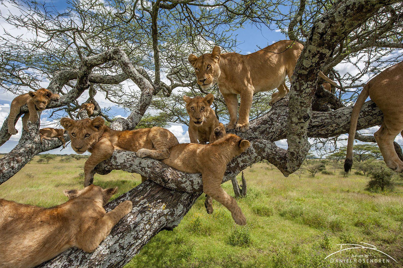 11 lions relaxing in a tree. © Daniel Rosengren