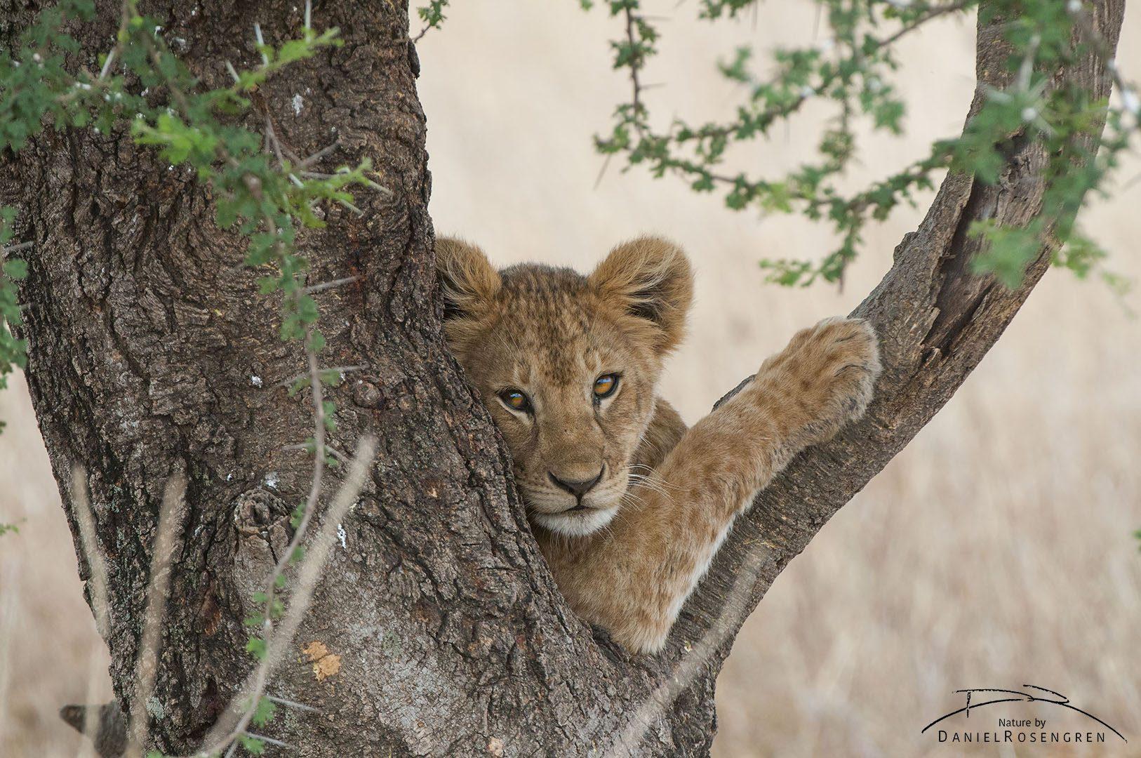 A lion cub posing in a tree. © Daniel Rosengren