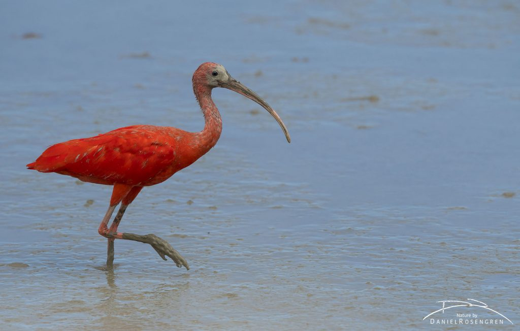 A Scarlet Ibis on the coast of Georgetown, Guyana. © Daniel Rosengren