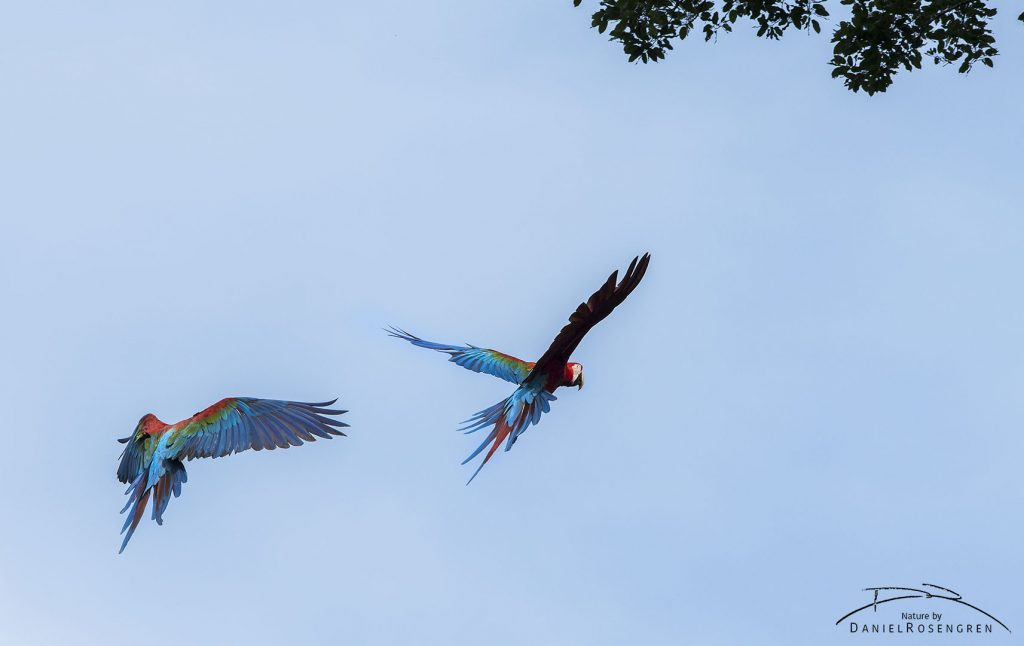 Red-and-green Macaws at the Jordan Falls in Kanuku Mountains Protected Area, Guyana. © Daniel Rosengren