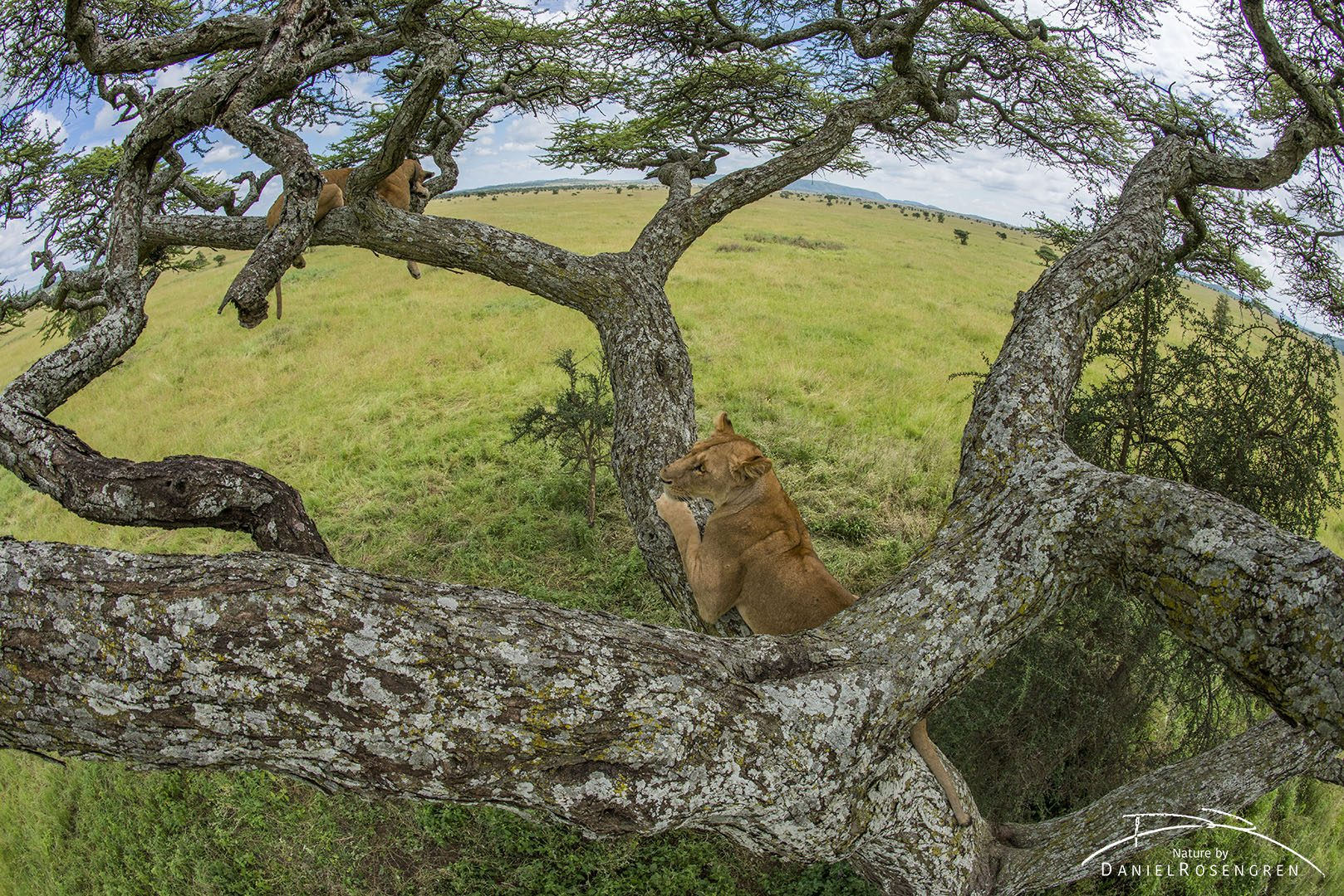 Lions in a tree from a lion's in a tree perspective. © Daniel Rosengren