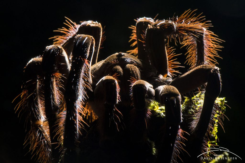 The Goliath Birdeater is the world's largest spider. © Daniel Rosengren