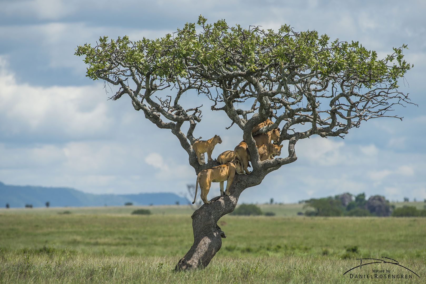 From a tree, the lions can keep an eye on their surroundings. © Daniel Rosengren